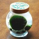 天然マリモ(外国産)特大サイズ1個と養殖マリモ5個入り(コルク瓶)(まりも育成説明書付) [水草 植物 アクアリウム 入門 初心者 簡単 北海道 お土産 おみやげ 毬藻 誕生日プレゼント ギフト 贈り物 通販 販売 ガラス瓶 グッズ 雑貨]