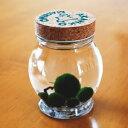養殖まりも5個入り 【水草】【アクアリウム】【植物】【マリモ育成説明書付】【水道水で育成可能】【ガラ