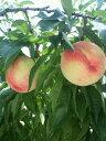 石垣農園 太陽の光をいっぱいに浴びた袋をかけずに育てた「桃」 8玉【0825祭10】