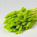 ファラリス 150g ライトグリーン【大束・お徳用】 <ドライフラワー・フラワーアレンジメント・花材・花資材>
