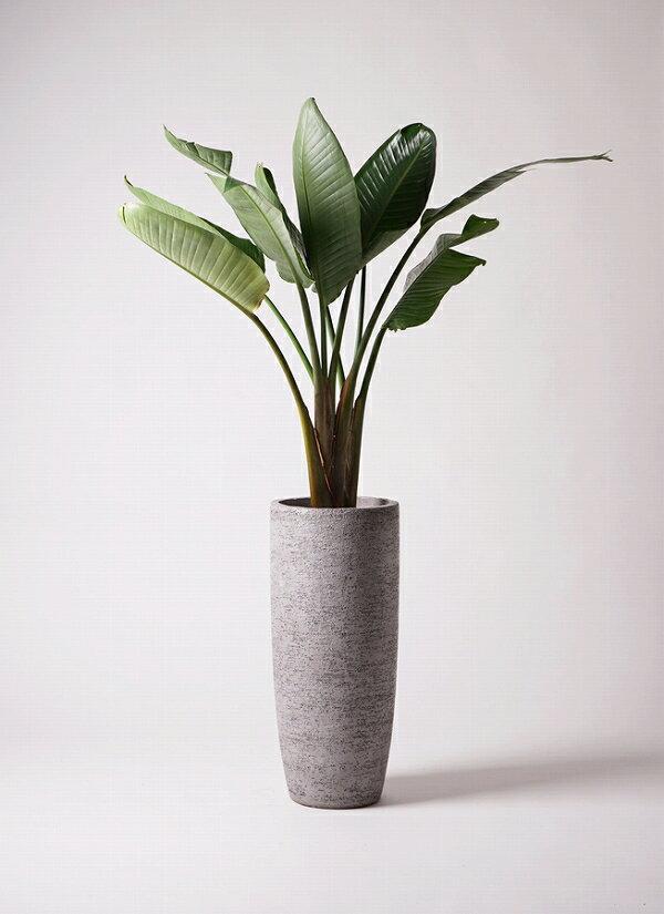 【送料込 生産者直送】観葉植物 オーガスタ 開店祝 御祝 開業祝 新築祝