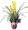 ランの鉢植え シンビジウム黄色【品質保証★花】