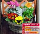 春まで楽しめる季節のお花の寄せ植え ミニガーデン パンジー ミニシクラメン【RCP】【楽ギフ_包装】【HLS_DU】