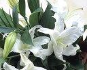 タイムセール豪華なカサブランカの花束♪ ユリの王様 白 百合 カサブランカが3本入り 【楽ギフ】 ギフト 父の日 誕生日 お供え