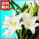 花 ギフト【送料無料】タイムセール豪華なカサブランカの花束♪【楽ギフ_メッセ】タイムセール