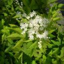 キョウカノコ (京鹿子) 白花 9cmポット仮植え苗【やま菜(同じ店舗名ですと同梱出来ます!)】