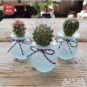 サボテンクラゲ3個・スリガラスサボテンとバリガラスお部屋で簡単人気の水耕栽培