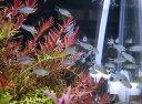 【コリドラス・ショートノーズ系】コリドラス ハステータス 10匹セット大特価!!≪熱帯魚 観賞魚 飼育≫