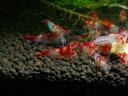 【シュリンプ】ルリーシュリンプ 10匹人気商品神戸店在庫≪熱帯魚 観賞魚 飼育≫