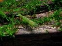 【シュリンプ】インドグリーンシュリンプ 1匹人気商品神戸店在庫≪熱帯魚 観賞魚 飼育≫