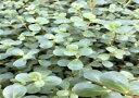 【水草】国産水草 セイロンロタラ 水上 1束 神戸店在庫有茎草安心の国産水草