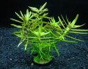 【水草】国産水草 ディディプリス 水上 1束 神戸店在庫有茎草安心の国産水草