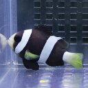 クロクマノミ 4-6cm± ! 海水魚 クマノミ 15時までのご注文で当日発送【クマノミ】