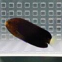 チャイロヤッコ 4-6cm± !海水魚 ヤッコ 餌付け 15時までのご注文で当日発送【ヤッコ】