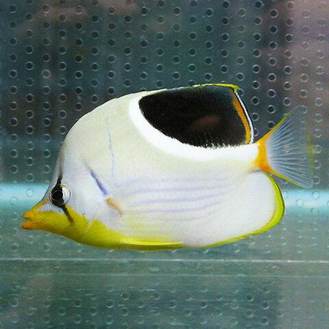 セグロチョウ 10-12cm±! 海水魚 チョウチョウウオ 餌付け 15時までのご注文で当日発送【チョウチョウウオ】