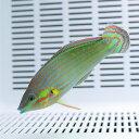 カザリキュウセン 8-10cm±!海水魚 ベラ15時までのご注文で当日発送【ベラ】