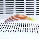 アヤタスキベラ 5-7cm±!海水魚 ベラ15時までのご注文で当日発送【ベラ】