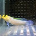 イエローヘッドジョーフィッシュ 6-8cm± ! 海水魚 ハゼ 15時までのご注文で当日発送【ハゼ】