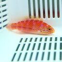 ピンテールフェアリーラス メス寄り 5-7cm± ! 海水魚 ベラ 15時までのご注文で当日発送【ベラ】