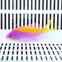カーベリーアンティアス 5-7cm±! 海水魚 ハナダイ 餌付け 15時までのご注文で当日発送【ハナダイ】
