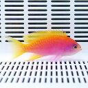 スクリブルドアンティアス メス 5-8cm±! 海水魚 ハナダイ 餌付け15時までのご注文で当日発送【ハナダイ】