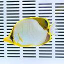 サントスバタフライ 7-10cm± !海水魚 生体 チョウチョウウオ 15時までのご注文で当日発送【チョウチョウウオ】