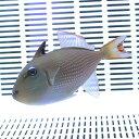ホシモンガラ メス(1匹) 7-10cm±! 海水魚 モンガラ 餌付け15時までのご注文で当日発送【ハギ】