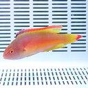 ベニヒレイトヒキベラ オス 8-11cm±! 海水魚 ベラ 餌付け15時までのご注文で当日発送【ベラ】