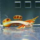 ホムラハゼ 2cm ! 海水魚 ハゼ 15時までのご注文で当日発送【PHセール対象】【ハゼ】