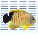 エイブリーエンゼル 6-8cm± ! 海水魚 ヤッコ15時までのご注文で当日発送【ヤッコ】