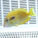 モンツキハギ M 8-10cm±! 海水魚 ハギ 餌付け15時までのご注文で当日発送【PHセール対象】【ハギ】