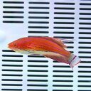 カーペンターズラス 6-8cm±!海水魚 ベラ15時までのご注文で当日発送【ベラ】