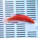 ルソンイトヒキベラ 6-8cm±!海水魚 ベラ15時までのご注文で当日発送【ベラ】