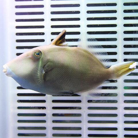 ツマジロモンガラ 7-10cm± ! 海水魚 カワハギ 餌付け済み 15時までのご注文で当日発送【ハギ】