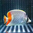 アミメチョウ 6-8cm±! 海水魚 チョウチョウウオ 餌付け 状態良好15時までのご注文で当日発送【チョウチョウウオ】