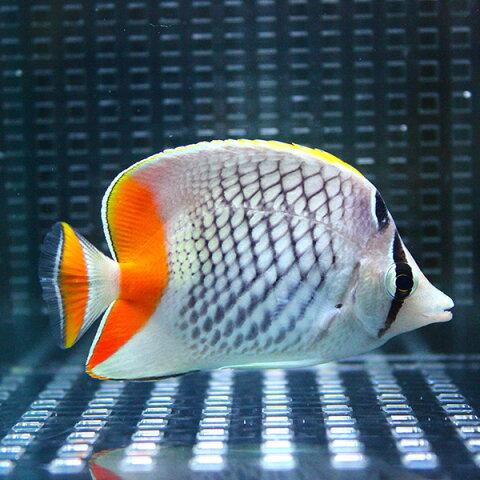 アミメチョウ 8-10cm±! 海水魚 チョウチョウウオ 餌付け 状態良好15時までのご注文で当日発送【チョウチョウウオ】