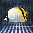 フウライチョウ 6-8cm±! 海水魚 チョウチョウウオ 餌付け 15時までのご注文で当日発送【チョウチョウウオ】