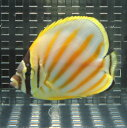 ハナグロチョウチョウウオ 5-7cm±! 海水魚 チョウチョウウオ 【餌付け未】15時までのご注文で当日発送【チョウチョウウオ】