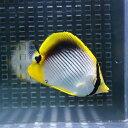 アケボノチョウ 4-6cm±! 海水魚 チョウチョウウオ 餌付け 15時までのご注文で当日発送【チョウチョウウオ】