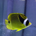 チョウハン 5-8cm± 海水魚! チョウチョウウオ 【多少のヒレ欠けがあります】【PHセール対象】【チョウチョウウオ】