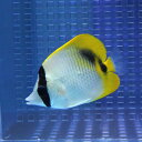 ニセフウライ 6-8cm±! 海水魚 チョウチョウウオ 餌付け 15時までのご注文で当日発送【チョウチョウウオ】
