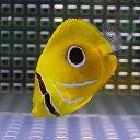 ウミズキチョウ 4-6cm±! 海水魚 チョウチョウウオ 【餌付け未】15時までのご注文で当日発送【チョウチョウウオ】
