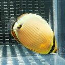 ミスジチョウチョウウオ 6-8cm±! 海水魚 チョウチョウウオ 【餌付け未】15時までのご注文で当日発送【チョウチョウウオ】