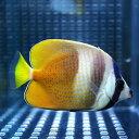 ミゾレチョウ 3匹セット 5-8cm±! 海水魚 チョウチョウウオ 餌付け 【PHセール対象】【チョウチョウウオ】