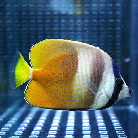 ミゾレチョウ 3匹セット 4-6cm±! 海水魚 チョウチョウウオ 餌付け【チョウチョウウオ】