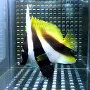 オニハタタテダイ 約5-7cm±! 海水魚 チョウチョウウオ 餌付け!15時までのご注文で当日発送【チョウチョウウオ】