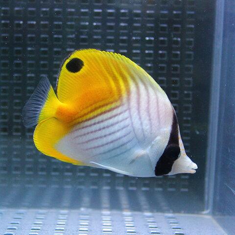トゲチョウ 4-6cm± 1匹! 海水魚 生体 チョウチョウウオ 餌付け 15時までのご注文で当日発送【チョウチョウウオ】