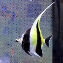 ツノダシ 7-9cm± 1匹 多少ヒレ欠けあり! チョウチョウウオ 海水魚15時までのご注文で当日発送【チョウチョウウオ】