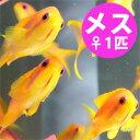 インドキンギョハナダイ メス 4-6cm±! 海水魚 ハナダイ 餌付け!15時までのご注文で当日発送【ハナダイ】