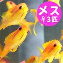 インドキンギョハナダイ メス 3匹セット 4-6cm± !海水魚 ハナダイ 餌付け15時までのご注文で当日発送【ハナダイ】